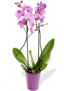 roze orchideeplant in pot bloemen orchidee roeselare. Black Bedroom Furniture Sets. Home Design Ideas